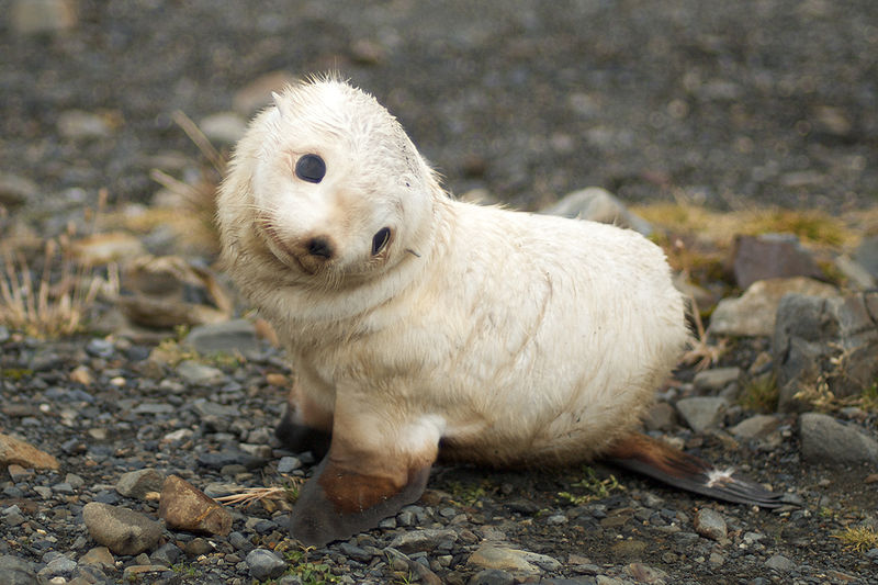 File:Baby fur seal, South Georgia.jpg