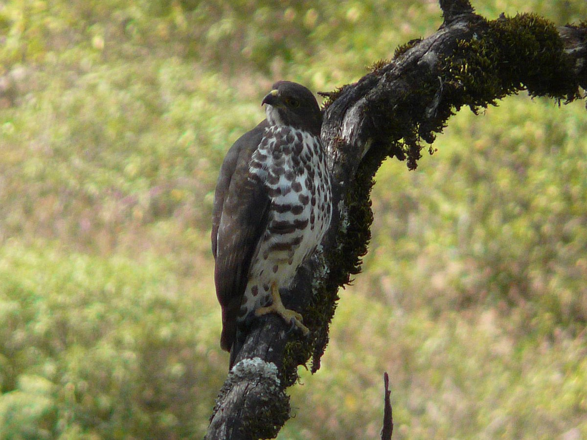 Mountain buzzard  Wikipedia