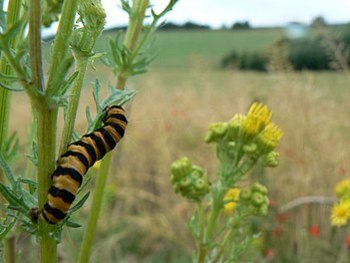 English: Caterpillar of Cinnabar Moth Cinnabar...