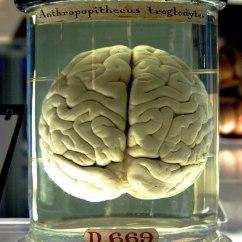 Chimpanzee Skull Diagram Trailer Breakaway Wiring دماغ ويكيبيديا الموسوعة الحرة