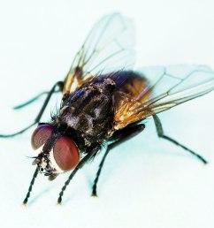 diagram of housefly [ 1200 x 911 Pixel ]