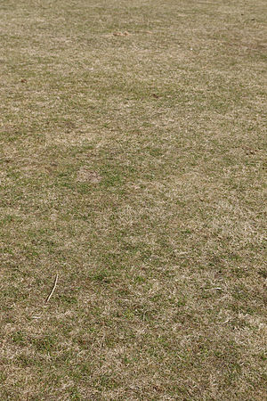 English: Dry lawn after winter in Pori.