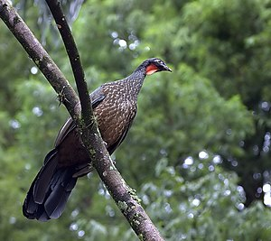 Dusky-legged Guan perching on a branch in Hort...