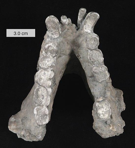 File:Gigantopithecus blacki mandible 010112.jpg