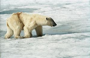 Polar Bear, Spitsbergen, Hornsund