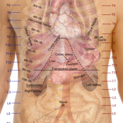 Kidney Location In Humans Diagram 98 Ford Mustang Radio Wiring Wikipedia Surface Projections Of The Organs Trunk Showing Kidneys At Level T12 To L3