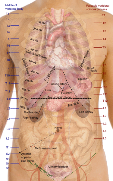 diagram of ribs and organs 1999 suzuki hayabusa wiring datei surface projections the trunk png wikipedia