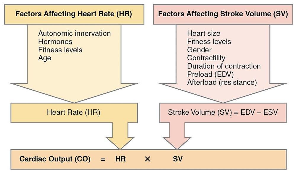 medium resolution of diagram of cardiac output