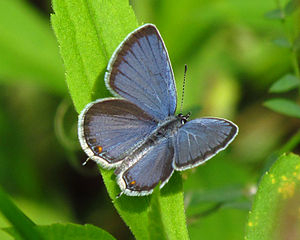 English: Eastern Tailed-blue (Cupido comyntas)...