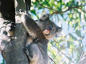 Koala looks down, Kangaroo Island