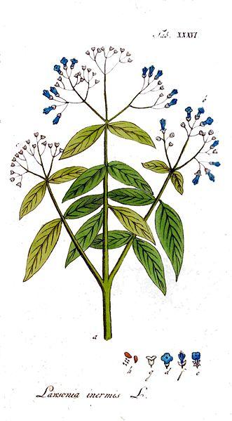 File:Lawsonia inermis Ypey36.jpg