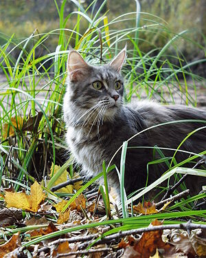 adult Maine Coon female in blue-cream patched ...