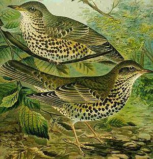 Mistle Thrush Turdus viscivorus