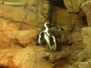 English: Blackfooted penguins in the splash zo...