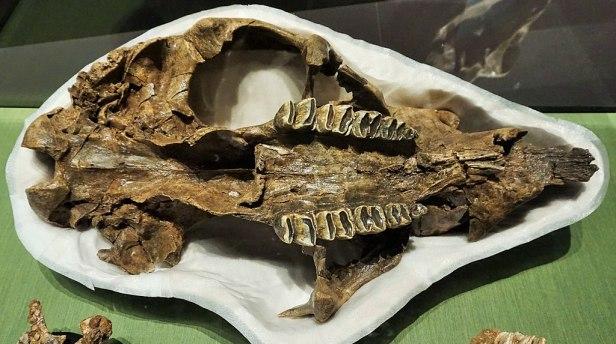 Queensland Museum & Science Centre - Joy of Museums - Giant Wombat Skull