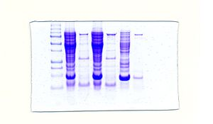 SDS-PAGE with Taq DNA Polymerase. SDS-PAGE is ...