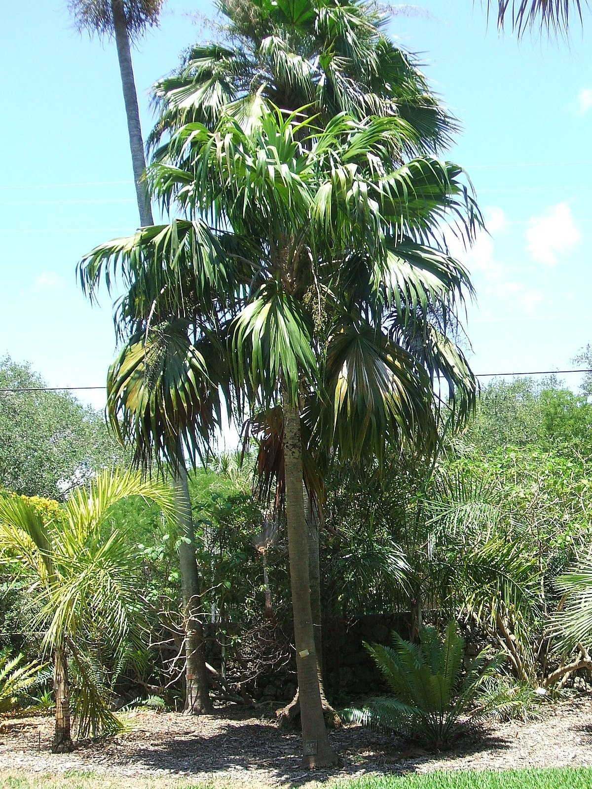 Thrinax Excelsa Wikipedia