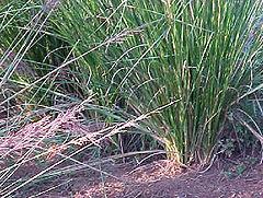 Rumput akar wangi
