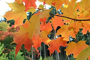 Sugar Maple - Acer saccharum leaves in autumn ...