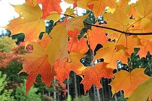 Sugar Maple - Acer saccharum leaves in autumn ...