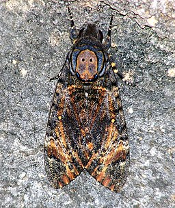 Death's-head Hawkmoth (6282798385)