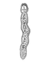 Dicyema macrocephalum.png