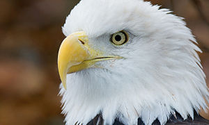 English: Bald eagle