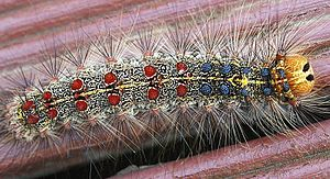 Gypsy moth caterpillar Category:Lepidoptera