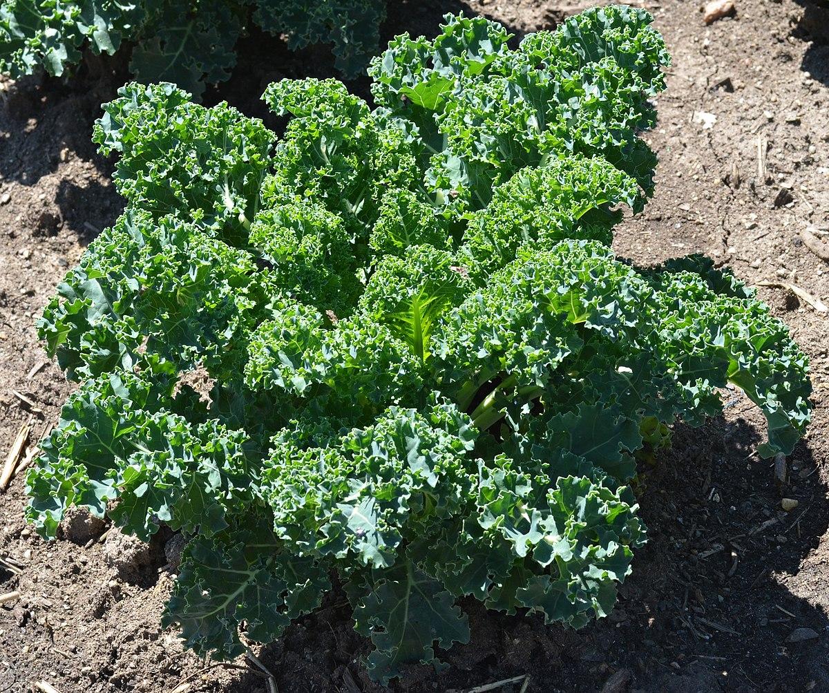 Brassica oleracea var sabellica  Wikispecies