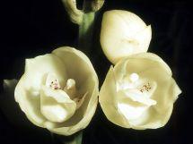 Peristeria Elata - Wikipedia