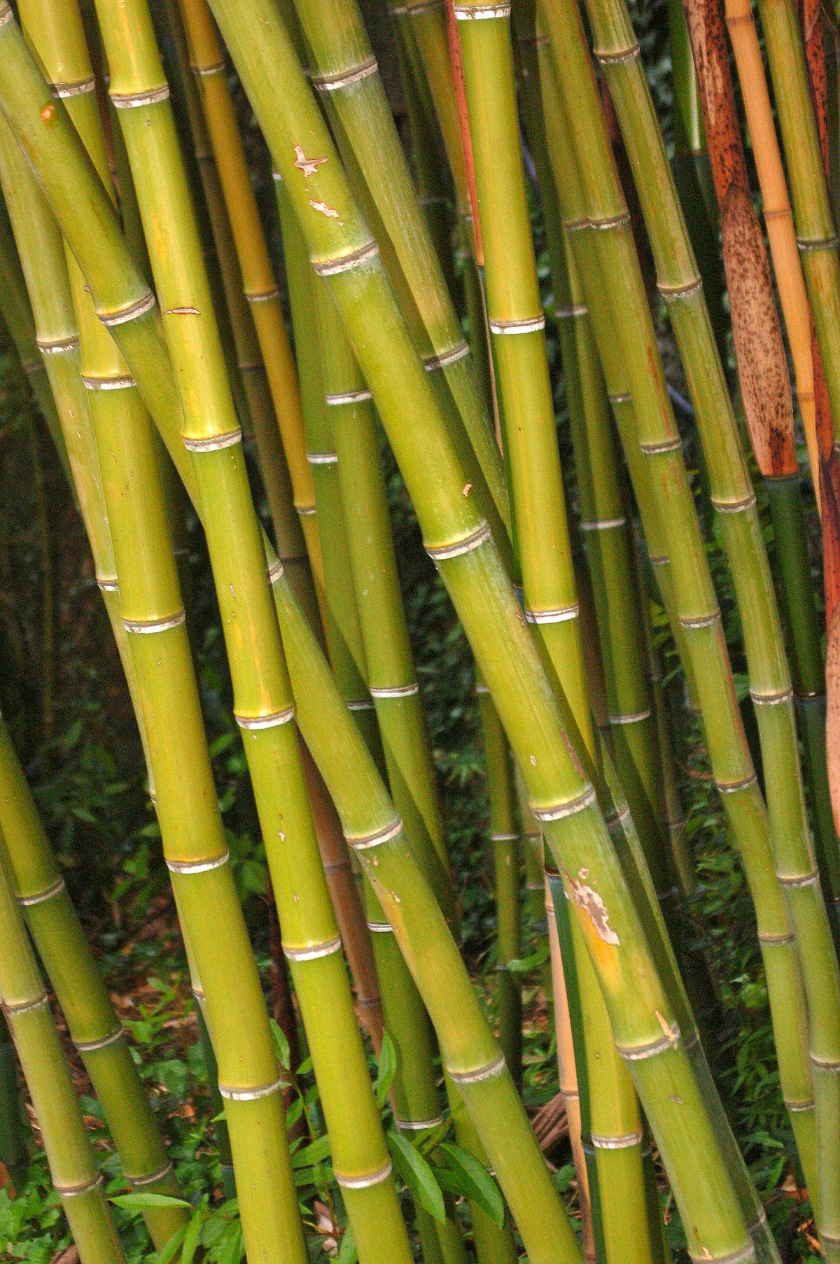 Japanese Bamboo Plant