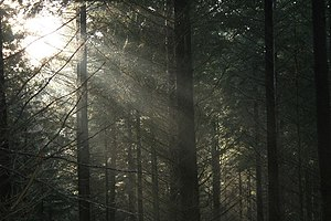 English: Winter Sunlight in Commonty Wood.