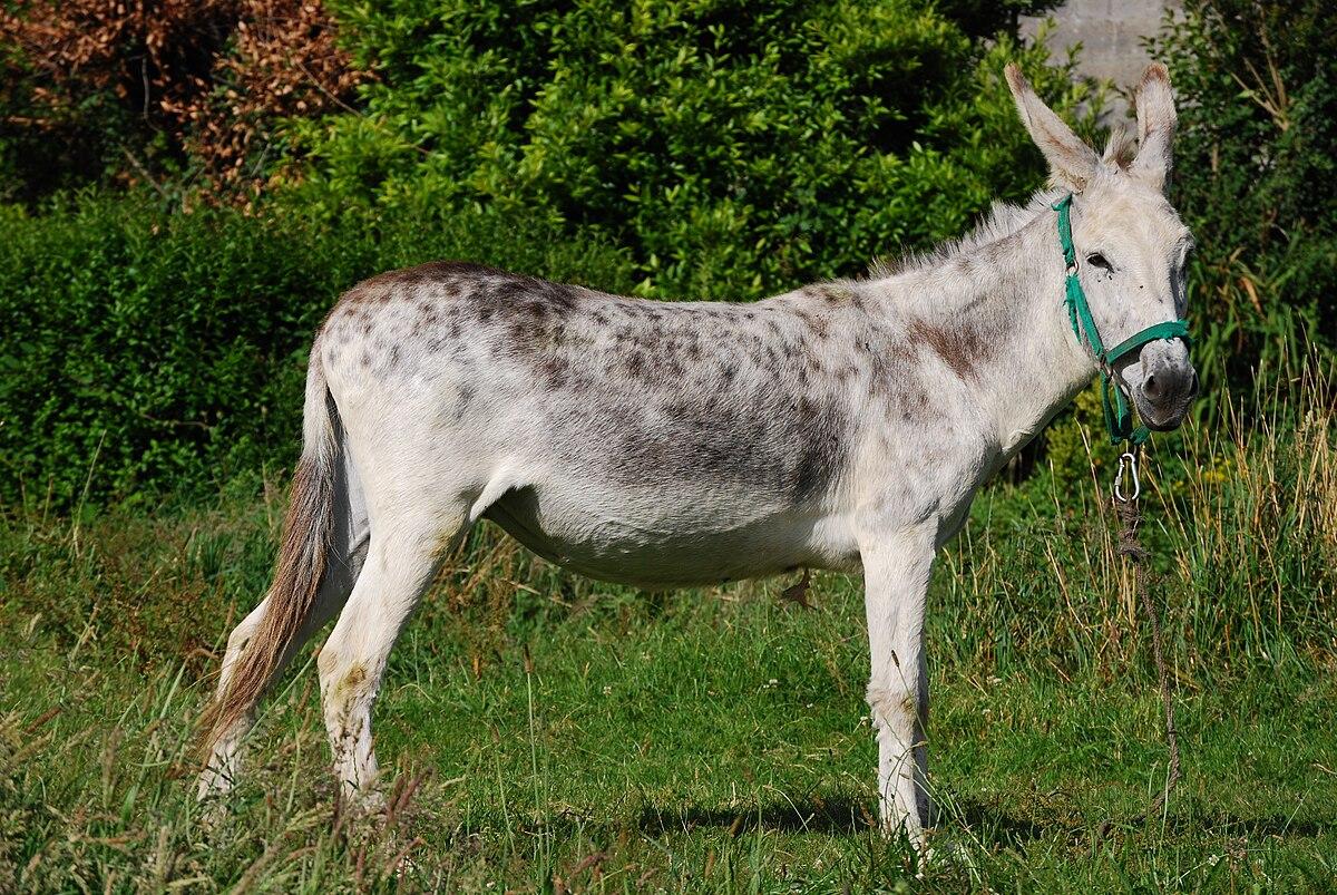 O burro na cultura popular galega  Wikipedia a
