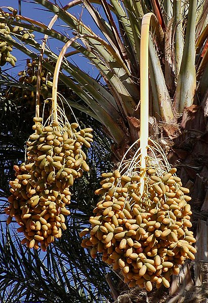 https://i0.wp.com/upload.wikimedia.org/wikipedia/commons/thumb/1/17/Dates_on_date_palm.jpg/411px-Dates_on_date_palm.jpg