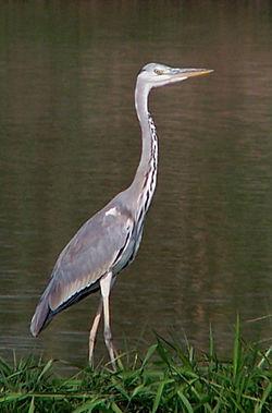 蒼鷺 - 維基百科,扁彎口吸蟲病,自由的百科全書