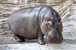 Hippopotamus - 04.jpg