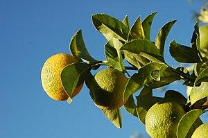 Lemons - Zitronen