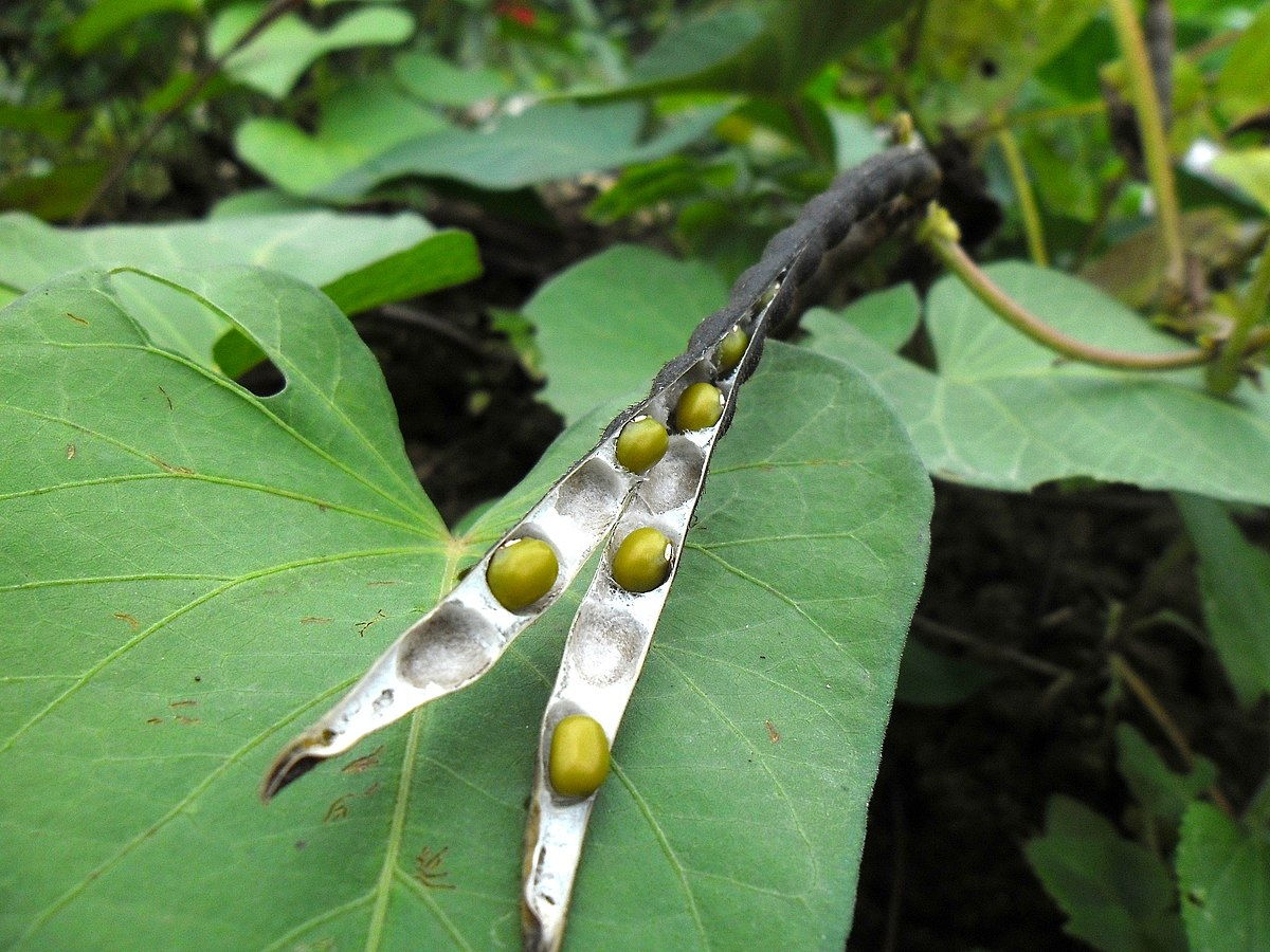 Mung bean (Vigna radiata) Dired open Pod in Hong Kong.JPG