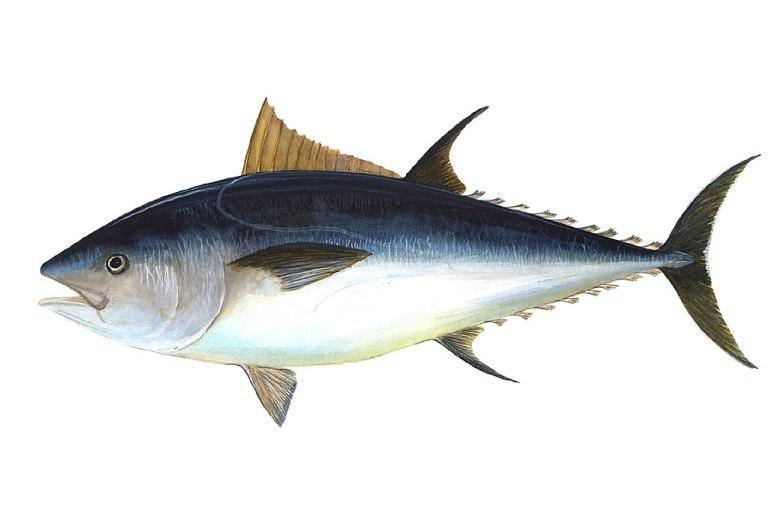 Blåfenad tonfisk