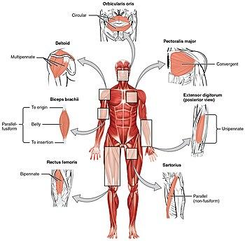 قائمة مصطلحات تشريح العضلات طب ويكيبيديا