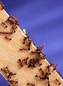 Fire ants02.jpg