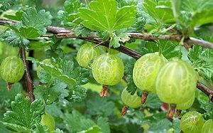 Gooseberry-spring