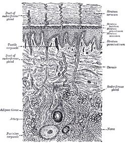 skin layers diagram labeled simple 3 1 z rig wikipedia a diagrammatic sectional view of the click on image to magnify dermis at center right