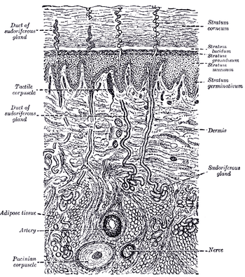 integumentary system diagram labeled bmw e60 pdc wiring human physiology wikibooks open books for an a diagrammatic sectional view of the skin magnified sweat gland as sudoriferous at center right