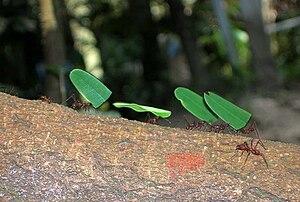 English: Leaf cutter ants , Iquitos , Peru.