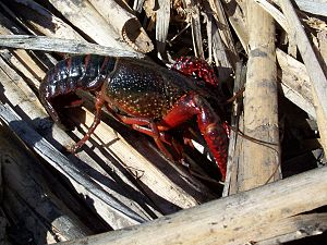 English: Red swamp crayfish Latina: Procambaru...