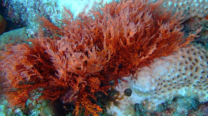 File:Red Algae on bleached coral.JPG