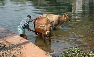 washing cows near Alleppey, Kerala, India