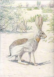 Antelope jackrabbit  Wikipedia