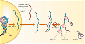 English: Schematic showing how antisense DNA p...